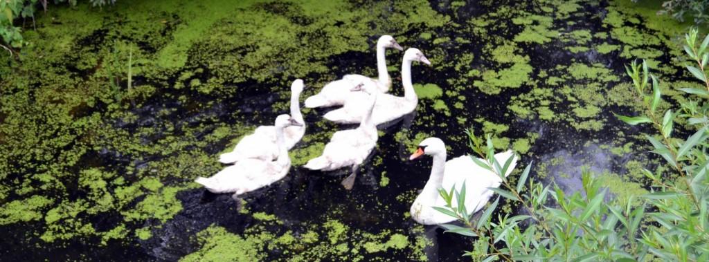 cygnes sur l'eau Meuse